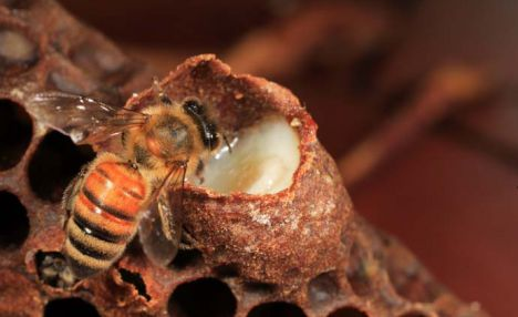 Пчелиное маточное молочко — свойства и применение