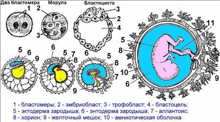 Схема стадий развития зародыша