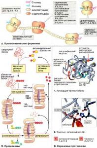 Аминопептидазы