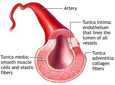 arterii.jpg