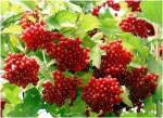 Калина красная грозди