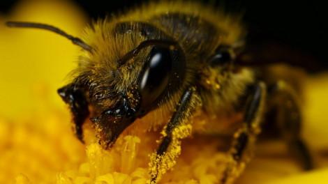 пчелинная перга производится пчелами из обножки